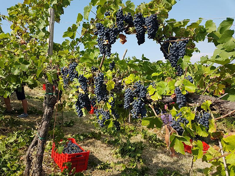 Vigneto Pinot Nero (Loc. Vicomarino, Ziano Piacentino)